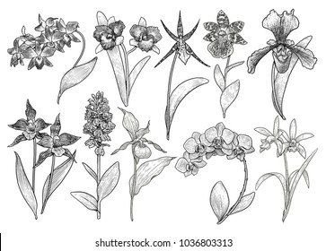 Orchid flower collection illustration, drawing, engraving, ink, line art, vector