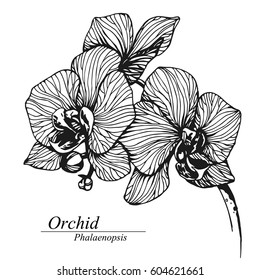 Orchid flowers. Phalaenopsis in blossom. Black and white hand drawn vector illustration, isolated on white.