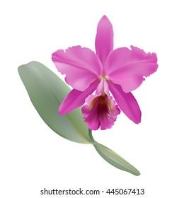 Imágenes Fotos De Stock Y Vectores Sobre Orquidea Cattleya
