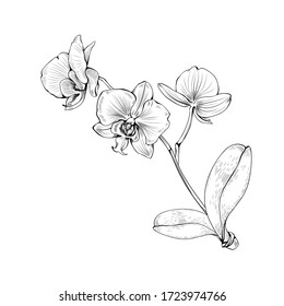 Orchid tropical flowers blossom on branch isolated on white background. Vector botanical illustration