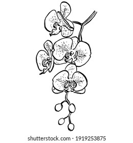 Orchids flower. Floral botanical flower. Isolated illustration element. Vector hand drawing wildflower for background, texture, wrapper pattern, frame or border.