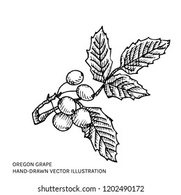 Oregon grape hand drawn ink illustration. Vector black and white drawing of Mahonia aquifolium