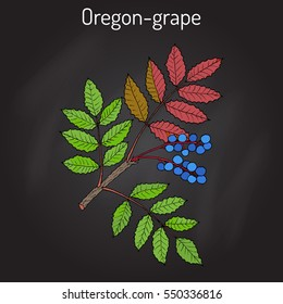 Oregon grape (Mahonia aquifolium). Hand drawn botanical vector illustration