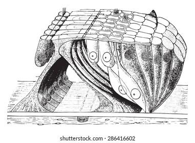 Organ of corti, vintage engraved illustration.