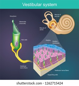 An organ that determines the body's balance. And the direction of the body. 