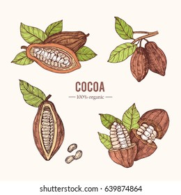 Organic hand drawn colored elements.Vector botanical illustration of cocoa beans. Vintage style. Use for cosmetic package, shop, store, products, identity, branding, label.