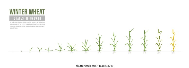Есо (Organic) Winter Wheat grows stages. Vector. Major growth stages. White Background