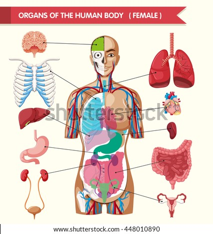 Organs Human Body Illustration Stock Vector (Royalty Free) 448010890 ...