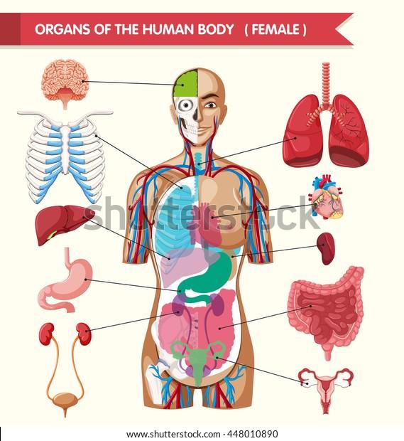 Organs Human Body Illustration Stock Vector Royalty Free 448010890