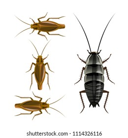 Oriental and german cockroaches. Vector illustration isolated on white background