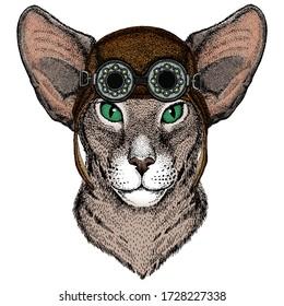 Oriental shorthair cat head. Portrait of animal. Aviator flying leather helmet with googles.