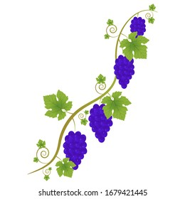 Ornament of a vine with a branch, leaves and bunches with berries on a white background. Decorative element for your design.