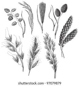 Ornamental grass collection / vintage illustration from Meyers Konversations-Lexikon 1897