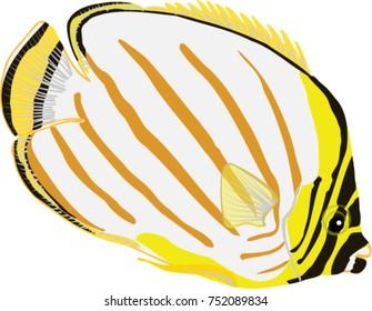 Ornate Butterflyfish illustration
