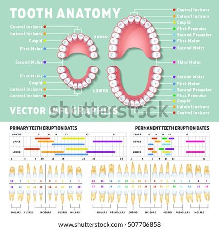 Orthodontic Anatomy Diagram House Wiring Diagram Symbols