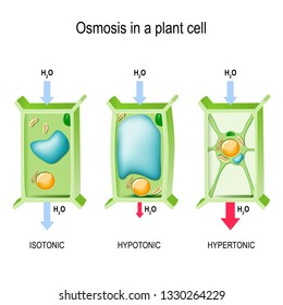 Osmosis in a plant cell. 3 types of tonicity: hypotonic, hypertonic, and isotonic. Vector illustration for biological, science and educational use.