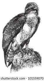 Osprey or sea hawk (Pandion haliaetus) / vintage illustration from Brockhaus Konversations Lexikon 1908