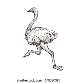 Ostrich bird, farm animal sketch, isolated running ostrich on the white background. Vintage style. Vector illustration.