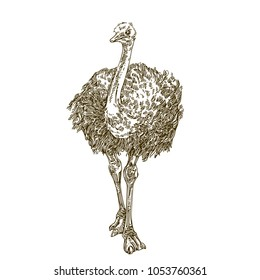 Ostrich. Engraving style. Vector illustration.