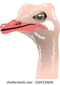 Ostrich Head, Wild Life Animal Africa - Vector Illustration