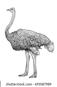 Ostrich illustration, drawing, engraving, ink, line art, vector