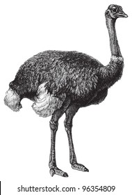 Ostrich (Struthio camelus) / vintage illustration from Meyers Konversations-Lexikon 1897