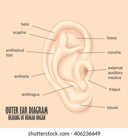 Ear diagram stock illustrations images vectors shutterstock outer ear diagram hearing of human organ ccuart Choice Image