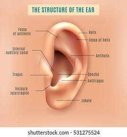 Parts Of The Ear >> Outer Ear Images Stock Photos Vectors Shutterstock