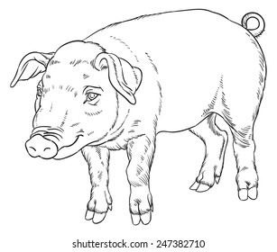 outline hand drawing of domestic pig - vector illustration