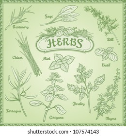 Outline illustration fresh herbs; rosemary, sage, dill, chives, mint, basil, tarragon, oregano, parsley, thyme