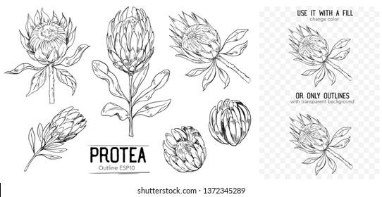 Outline of protea. Tropical flowers. Set of hand drawn illustrtions converted to vector. With transparent background or with fill