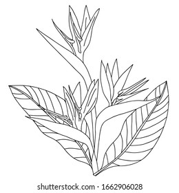 outline Strelitzia royal. flower bird of Paradise. element for coloring book. Official flower of Los Angeles. Isolated on white background, flat style. Strelitzia reginae L. Realistic floral doodle