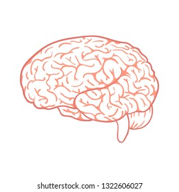 Outline vector brain on white background. Doodle human organ.