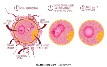 Ovum structure with cytoplasm, nucleus and corona radiata. Vector illustration of fertilization process in pink colors useful for education in schools and clinics. Healthcare and biology concept.