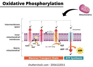 Oxidative phosphorylation process. Electron transport chain. Vector illustration.