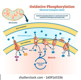 Oxidative phosphorylation vector illustration. Labeled electron transport linked metabolism scheme. Educational diagram with cells use enzymes to oxidize nutrients process in explanation infographics.