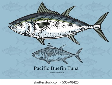 Pacific Bluefin Tuna. Vector illustration with refined details and optimized stroke that allows the image to be used in small sizes (in packaging design, decoration, educational graphics, etc.)