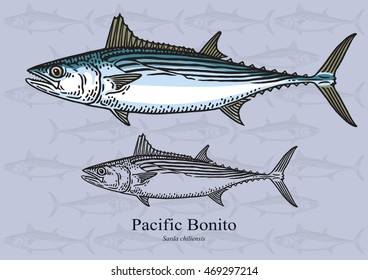 Pacific Bonito. Vector illustration with refined details and optimized stroke that allows the image to be used in small sizes (in packaging design, decoration, educational graphics, etc.)