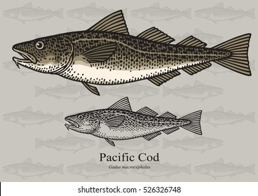 Pacific Cod, True Cod. Vector illustration with refined details and optimized stroke that allows the image to be used in small sizes (in packaging design, decoration, educational graphics, etc.)