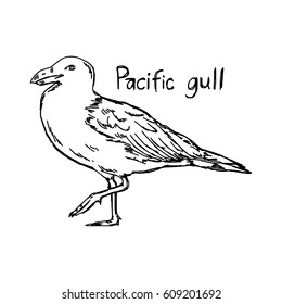 pacific gull - vector illustration sketch hand drawn with black lines, isolated on white background