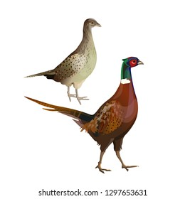 A pair of pheasants - cock and hen. Side view. Vector illustration isolated on white background