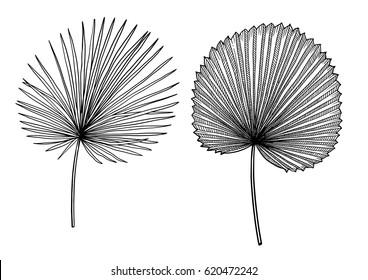 Palm leaf illustration, drawing, engraving, ink, line art, vector