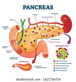 Pancreas anatomical cross section model, vector illustration medical example. Blood flow process, cell structure and hormone functions. Digestive enzymes, pancreatic islet and other internal elements.