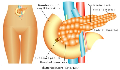 Pancreas. Human Duodenum pancreas on a white background