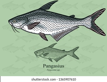 Pangasius, Pangas fish. Vector illustration with refined details and optimized stroke that allows the image to be used in small sizes (in packaging design, decoration, educational graphics, etc.)