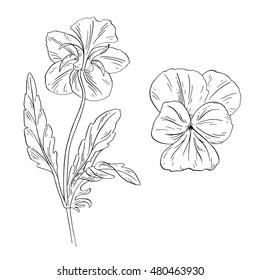 Pansy flower ink sketch on white background. Vector illustration for your design