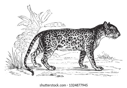 Panther, vintage engraved illustration. Zoology Elements from Paul Gervais.