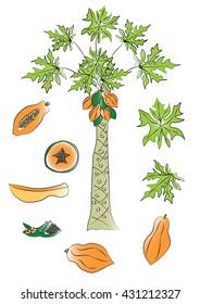 Papaya tree, fruit and leaves isolated