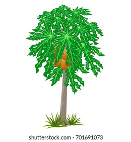 Papaya tree isolated for tropical garden scene or landscape. Vector illustration
