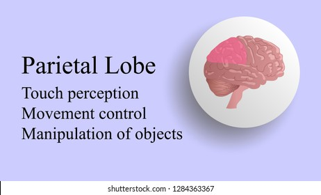 Parietal lobe vector. Brain lobes vector illustration. Human brain infographic vector. Brain lobes functions